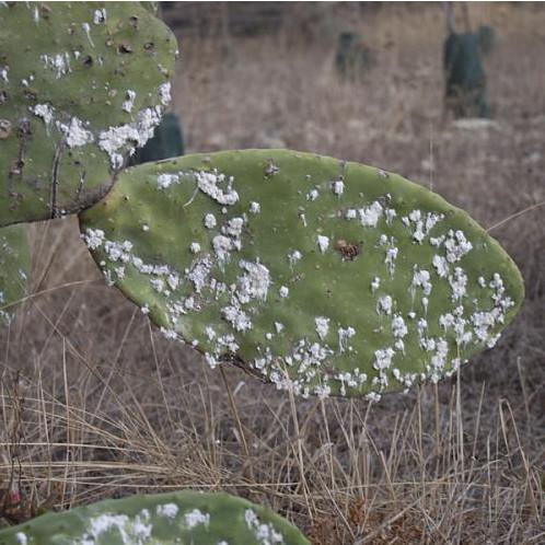 dactylopius-opuntiae-web_agrologica_es