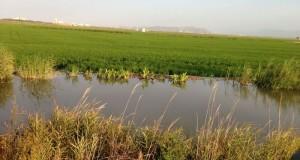 Arrossars Albufera primers agost de 2017_1