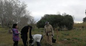 Plantada arbres assut de Sueca_1