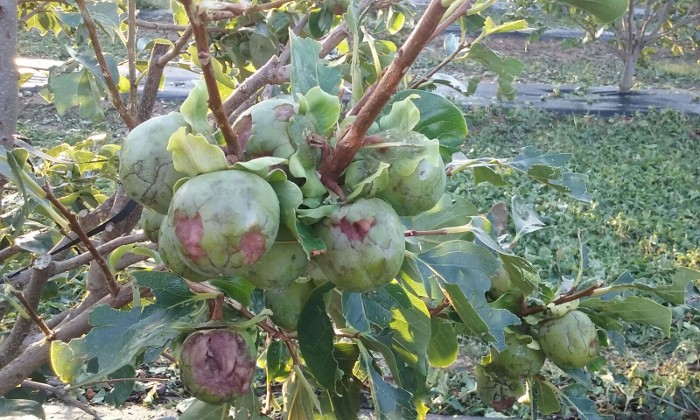 fruita-pedregada-la-ribera-juliol-2018