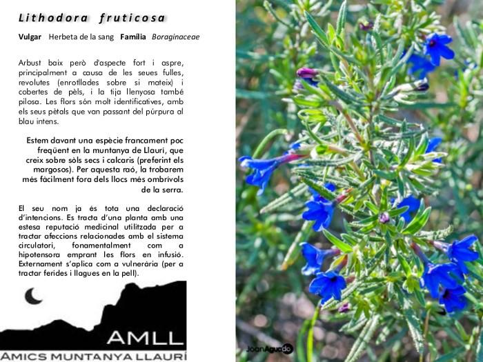 04-Lithodora_fruticosa