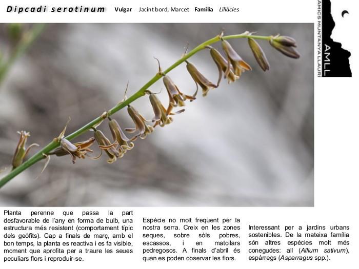 05-Dipcadi_serotinum