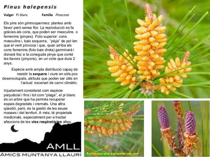 06-Pinus_halpensis