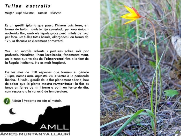 11-Tulipa_australis