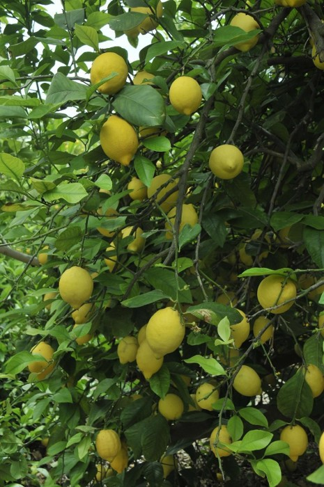 llimes-verna-arbre