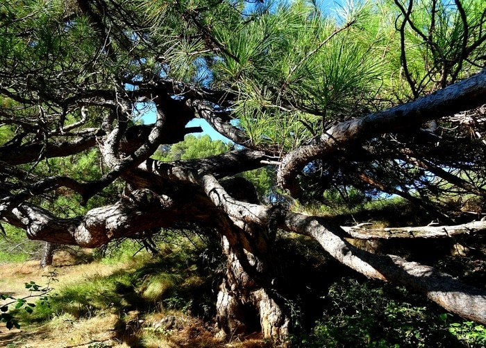 olivetes-xafaes-conca_2